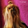 Choroby psów ras miniaturowych w starszym wieku