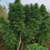 Pilscy policjanci zlikwidowali plantację marihuany