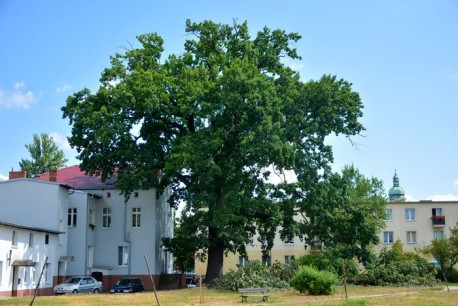 Jest zgoda Rady Miasta Piły na prace pielęgnacyjne na pomniku przyrody przy ul. Okrzei w Pile