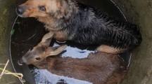 Strażacy z Kaczor uratowali zwierzęta ze studni